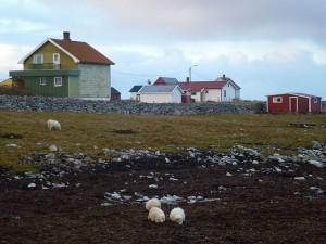 Sauen gresser på Røst. Foto: Einar Stamnes